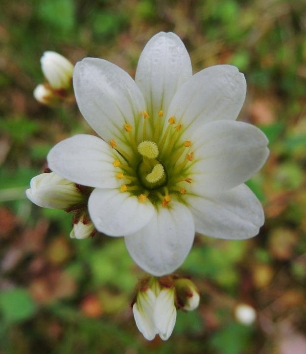 Saxifraga granulata - papelorikon kukan perussääntö viidestä terälehdestä ja kymmenestä heteestä ei ole estänyt kuvan kukkaa kasvattamasta kahdeksaa terälehteä ja kuuttatoista hedettä. Monilla muillakin lajeilla esiintyy vastaavaa säännöistä piittaamattomuutta silloin tällöin. A, Lemland, eteläpää, Herröskatan, luonnonsuojelualue, tieuran laitaketo, 26.5.2013. Copyright Hannu Kämäräinen.