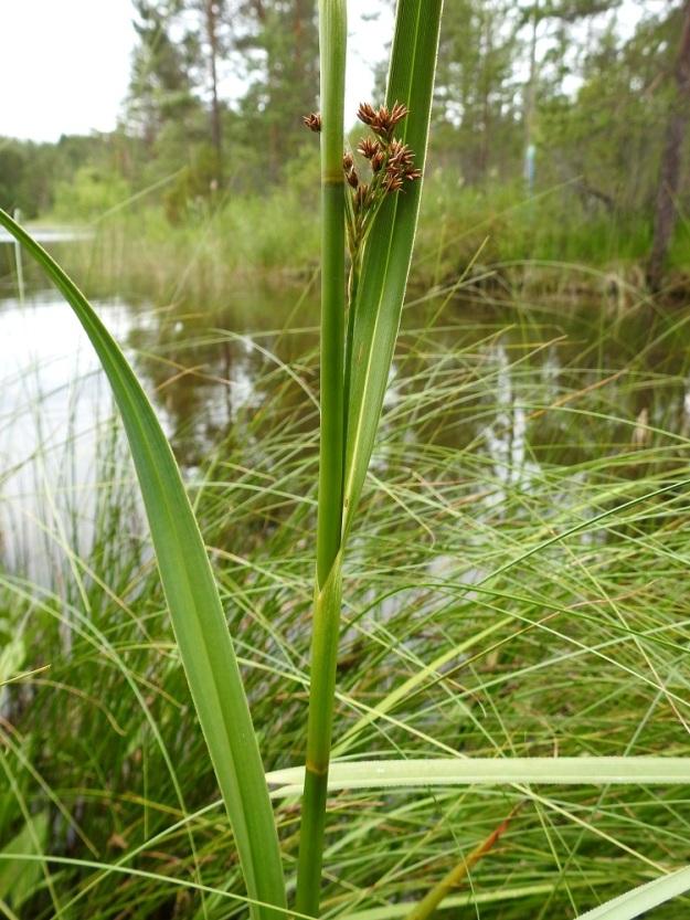 Cladium mariscus - isotaarnan varsilehdet ovat ylöspäin lyheten noin 30-70 cm pitkiä. Lovisuinen, kielekkeetön tuppi on noin 5-10 cm pitkä. PS, Joroinen, Ryyhtölä, Saarikko-lampi, luonnonsuojelualue, 12.7.2019. Copyright Hannu Kämäräinen.