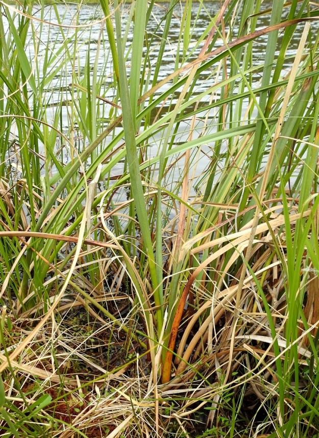 Cladium mariscus - isotaarnan varret ovat alempaa noin 5-7 mm paksut. Tyvilehtien tupet ovat yli 10 cm pitkät ja ne kiertyvät varren tyven ympärille. PS, Joroinen, Ryyhtölä, Saarikko-lampi, luonnonsuojelualue, 12.7.2019. Copyright Hannu Kämäräinen.