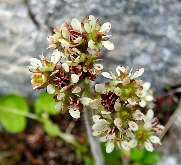 Micranthes nivalis (Saxifraga nivalis) - pahtarikon teriö on tavallisesti noin 4-8 mm leveä. Terälehtiä on viisi. Ne ovat valkoiset ja toisinaan myöhemmin punertuvat. Malliltaan ne ovat soikeat ja kapenevatyviset. Pituutta niillä on yleensä noin 2,5 mm. Heteitä on kymmenen ja emin vartaloita ja luotteja kaksi. Jos hyönteispölytystä ei tapahdu, heteet kääntyvät kuvan tavoin luotteihin kiinni ja aiheuttavat itsepölytyksen. EnL, Enontekiö, Kilpisjärvi, Iso-Mallan eteläinen alarinne, Kitsijoen Kitsiputouksen seinämärinne, 655 m mpy, 9.7.2018. Copyright Hannu Kämäräinen.
