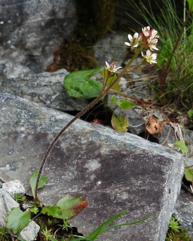 Micranthes tenuis - lumirikko vai M. nivalis - pahtarikko? Kukintaansa aloittavista tämän lajiparin rikoista on toisinaan vaikea sanoa viimeistä sanaan suuntaan tai toiseen. Ylemmät kukat ovat lähes perättömiä ja alimmalla kukalla on peräti kolme tukilehteä, joista yksi on peräänsä pitempi ja kaksi sitä lyhyempiä. Heteiden ponnet ovat oranssit. Varren yläosa on tiheähkö sekä pitkähkökarvainen ja seassa on myös hapsikarvoja. Varren yläosan perusteella kyse näyttäisi olevan pahtarikosta. EnL, Enontekiö, Kilpisjärvi, Saanan jyrkkä koillisrinne lähellä pahtaseinämän tyveä, Saanajärven luoteispään kohdalla, 785 m mpy, 6.7.2018. Copyright Hannu Kämäräinen.