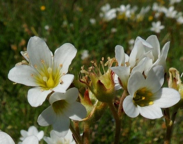 Saxifraga granulata - papelorikon kota, joka näkyy kuvassa kukkien keskellä, on ilman sarvia tavallisesti noin 7-8 mm pitkä ja noin 6-7 mm paksu. Siementuotanto on yleensä heikko. A, Lemland, eteläpää, Herröskatan, luonnonsuojelualue, laidunaitauksen kallioketo, 8.6.2014. Copyright Hannu Kämäräinen.