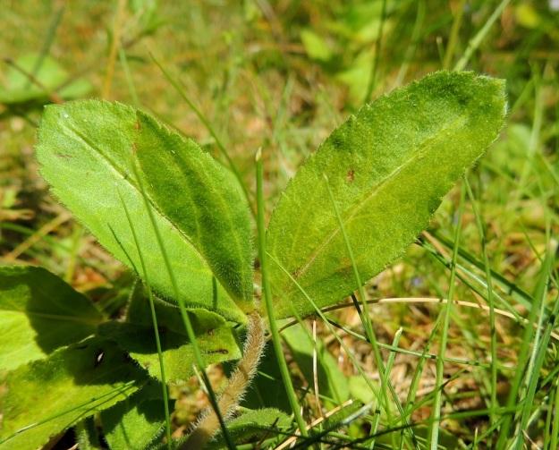Veronica officinalis - rohtotädykkeen lehdet ovat soikeat tai puikeahkot ja suippotyviset sekä terävä- tai pyöreäkärkiset. Lehtilaita on matalasti pienihampainen. Lehtilapa on yleensä molemmin puolin karvainen sekä tavallisesti noin 2-4 cm pitkä ja leveimmältä kohtaa noin 1-2 cm leveä. EH, Hämeenlinna, Loimalahti, Hirsimäki, omakotialue, pihamaan ja metsän raja, 5.7.2015. Copyright Hannu Kämäräinen.