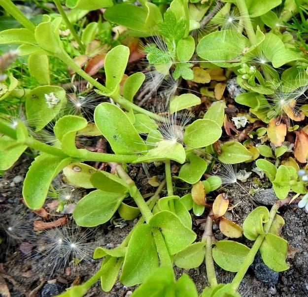 Veronica serpyllifolia subsp. serpyllifolia - orvontädykkeen subsp. etelänorvontädykkeen lehdet ovat soikeat, leveänsoikeat tai puikeahkot, kuten kuvan alalaidassa keskellä. Ne ovat kaljut tai karvaiset ja laidoiltaan ehyet tai matalahampaiset. Pituutta lehtilavalla on tavallisesti noin 7-15 mm ja leveyttä leveimmältä kohtaa noin 4-10 mm. EH, Hämeenlinna, Vuorentaka, Lakee, Hirsimäenkadun laita, pensasaidan vierus, 4.6.2020. Copyright Hannu Kämäräinen.