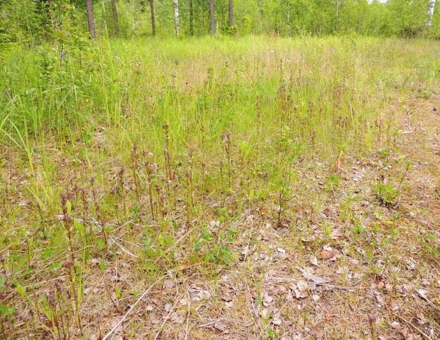 Gentianella amarella var. lingulata - horkkakatkero var. kesähorkkakatkero on maatalouden rakennemuutoksen myötä suuresti harvinaistunut ja on valtakunnallisesti erittäin uhanalainen samoin kuin nimimuunnoskin, syyshorkkakatkero, var. amarella. Hakamaa- ja niittylaidunnuksen loppuminen ja sitä seurannut umpeutuminen ja metsittyminen ovat vieneet elinmahdollisuudet suurelta osalta katkeropaikoista. Onneksi joitakin valopilkkuja on vielä jäljellä, kuten tämän kuvasarjan pohjaltaan avoimet niitty- ja kallioketoalueet, joilla kuvanottoajankohtana kasvoi yhteensä ainakin 6 440 kukkavarrellista yksilöä. KP, Vimpeli, Kotakangas, Kotakankaan entisen kalkkilouhosalueen ympäristö, 18.7.2015. Copyright Hannu Kämäräinen.