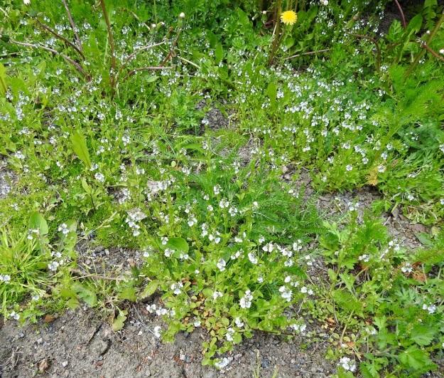 Veronica serpyllifolia subsp. serpyllifolia - orvontädyke subsp. etelänorvontädyke on hentojuurisena huonohko kilpailija ja hyötyy selvästi kasvualustansa aukkoisuudesta ja rikkoutumisesta. EH, Hämeenlinna, Vuorentaka, Lakee, Hirsimäenkadun laita, pensasaidan vierus, 4.6.2020. Copyright Hannu Kämäräinen.