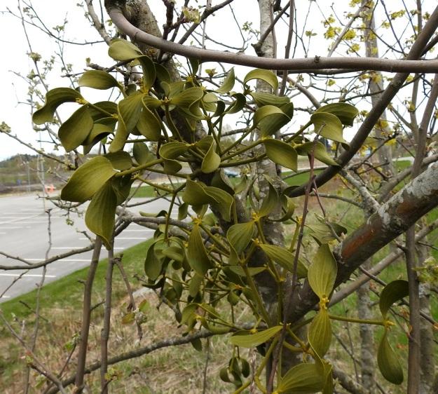 Viscum album subsp. album - euroopanmisteli subsp. lehtipuunmisteli tarhaomenapuulla, Malus domestica. Misteli on puoliloinen, joka ottaa imujuurillaan vettä ja ravinteita isäntäkasvista. Se on kuitenkin kokonaan vihreä ja näin ollen yhteyttää itse. Puussa juuriaan levittävä misteli kasvattaa usein useampia versoja. Kuvankin versot ovat melkoisella varmuudella samaa yksilöä. V, Turku, Oriketo, Vanhan Tampereentien laita Linnasmäen kukkulan kohdalla, 4.5.2019. Copyright Hannu Kämäräinen.