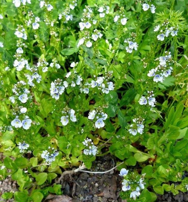 Veronica serpyllifolia subsp. serpyllifolia - orvontädyke subsp. etelänorvontädyke on suurelta osin ihmisen seuralainen ja hyötyy luonnon muokkaamisesta. Sen löytää useimmiten pelloilta, niityiltä, pientareilta, tienvarsilta, joutomailta sekä pihoista ja puistoista. EH, Hämeenlinna, Vuorentaka, Lakee, Hirsimäenkadun laita, pensasaidan vierus, 4.6.2020. Copyright Hannu Kämäräinen.