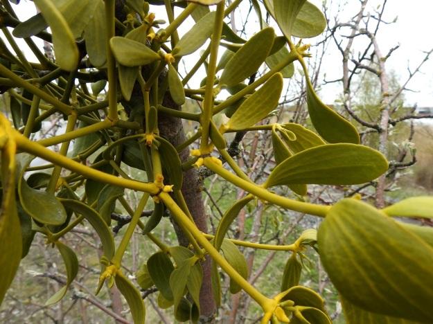 Viscum album subsp. album - euroopanmisteli subsp. lehtipuunmisteli tarhaomenapuulla, Malus domestica. Varret ovat vihreät tai kellanvihreät, kaljut ja tanakat, mutta murtuvat helposti nivelkohdistaan. Nivelvälien pituus on tavallisesti noin 5-10 cm. Lehdet ovat vastakkaiset, möyheähköt, silposuoniset, ehytlaitaiset ja kaljut. Malliltaan ne ovat kapeansoikeat tai vastapuikeat ja usein käyrät tai kierteiset. Pituutta täysikasvuisilla lehdillä on tavallisesti noin 5-7 cm ja leveyttä leveimmältä kohtaa noin 2-2,5 cm. Kukat ovat vuosikasvainten kärjessä ja aika usein myös sen tyvellä olevassa nivelessä, kuten kuvassa. V, Turku, Artukainen, Pansiontien ja radan välinen niittykaista, 4.5.2019. Copyright Hannu Kämäräinen.