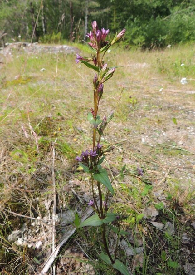 Gentianella amarella var. lingulata - horkkakatkero var. kesähorkkakatkero voi olla myös kookas, moninivelinen ja lehtihangoistaan haarova. Kuvan yksilö, josta alin nivelväli ei näy, on noin 40 cm pitkä. Nivelvälejä on kuusi, mutta lehdet ovat silti selvästi niitä lyhyempiä. Kukkia on ainakin 35. Vuonna 1996 alueelta löytyi jopa 60-kukkaisia yksilöitä. KP, Vimpeli, Kotakangas, Kotakankaan entisen kalkkilouhosalueen ympäristö, 18.7.2015. Copyright Hannu Kämäräinen.