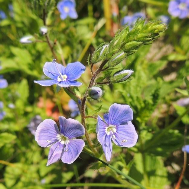 Veronica chamaedrys - nurmitädykkeen kukintotertun kärjessä olevat nuput ovat tiiviinä ryhmänä. Kukkien avautumisvaiheessa terttu kasvaa ja harvenee. Kukkaperä on tukilehdellinen ja noin 5-7 mm pitkä. Tukilehdet ovat noin 4-5 mm pitkät. Verhiö on neliliuskainen. Liuskat ovat tavallisesti noin 4 mm pitkät. Tertturanka, kukkaperät, tukilehdet ja verhiöt ovat karvaiset ja nystykarvaiset. U, Vantaa, Viinikkala, Tuupakanmäki Hommaksentien itäpuolella, mäen tyven laitaniitty, 7.6.2015. Copyright Hannu Kämäräinen.
