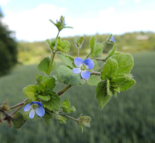 Veronica opaca - himmeätädykkeen kukat ovat yksittäin varren latvaosan lehtihangoissa Teriö. Teriö on yhdislehtinen, ratasmainen ja neliliuskainen sekä tavallisesti noin 5-7 mm leveä. Teriönliuskat ovat muuten siniset, mutta niiden tyvi on lähes tai aivan valkoinen. Liuskojen suonet ovat aina pohjaväriä tummempia. U, Kerava, Imppalanmäki, Kivisillantien eteläpuolen pellonreuna lähellä Keravan, 25.7.2015. Copyright Hannu Kämäräinen.