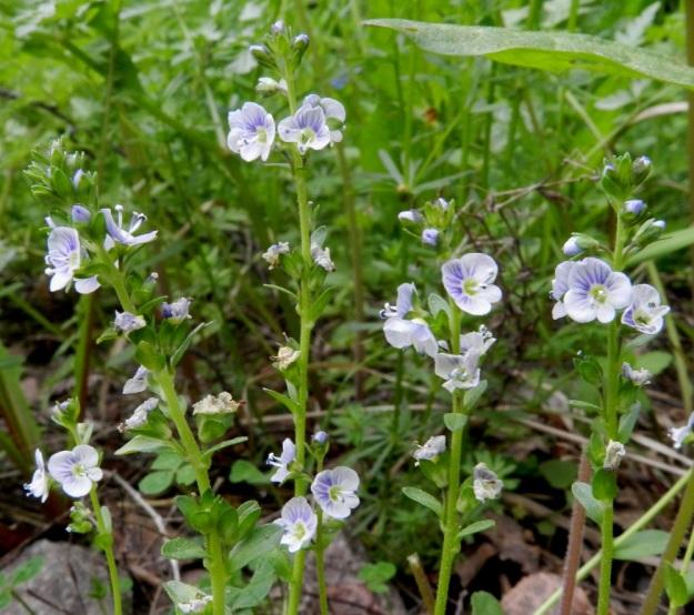 Veronica serpyllifolia subsp. serpyllifolia - orvontädykkeen subsp. etelänorvontädykkeen kukinto on latvaterttuna, joka nuppuvaiheessa on tiheä ja harsuuntuu huomattavasti kukinnan edetessä. Pituutta sillä on kukintavaiheesta riippuen yleensä noin 2-8 cm. EH, Janakkala, Harviala, Harvialantien ja Harvialan Kartano -tien kulmauksessa oleva taimitarha-alue, 9.6.2012. Copyright Hannu Kämäräinen.