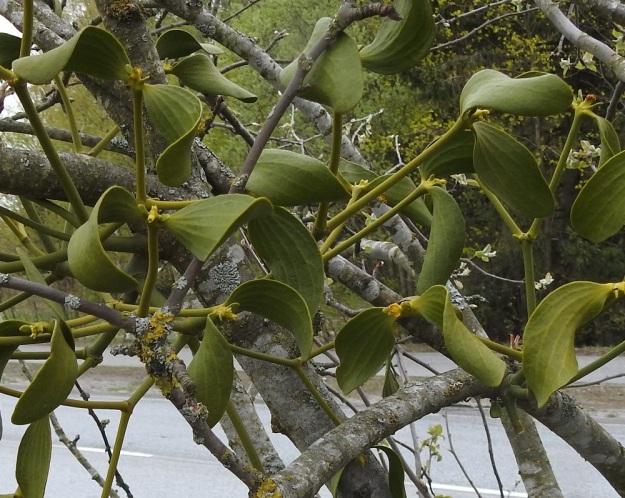 Viscum album subsp. album - euroopanmisteli subsp. lehtipuunmisteli tarhaomenapuulla, Malus domestica. Toisinaan lehdet kaartuvat ja kiemurtelevat runsaasti. Tavallisesti yhdessä puussa on vain joko hede- tai emiversoja. Kuvan omenapuussa sen sijaan on aivan vierekkäin molemmat yksilöt. Hedekukkainen verso on kuvan oikeassa laidassa ja muut versot ovat emikukkaisia. Kehän leveys- ja kehälehtien asentoero näkyvät selvästi. V, Turku, Oriketo, Vanhan Tampereentien laita Linnasmäen kukkulan kohdalla, 4.5.2019. Copyright Hannu Kämäräinen.