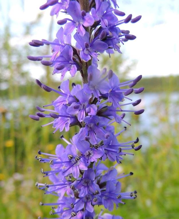 Veronica longifolia var. longifolia -rantatädykkeen var. jokirantatädykkeen teriö on yleensä sininen tai sinipunainen ja tavallisesti noin 6-8 mm leveä. Heteitä on kaksi ja ne ovat noin 5-6 mm pitkiä yltäen kauas teriön ulkopuolelle vastaanottamaan hyönteisiä. Emin vartaloita ja luotteja on yksi. PeP, Tervola, Mattinen, Kemijoen kaakkoispuolinen rantatöyräs koulun lähellä, 16.7.2015. Copyright Hannu Kämäräinen.