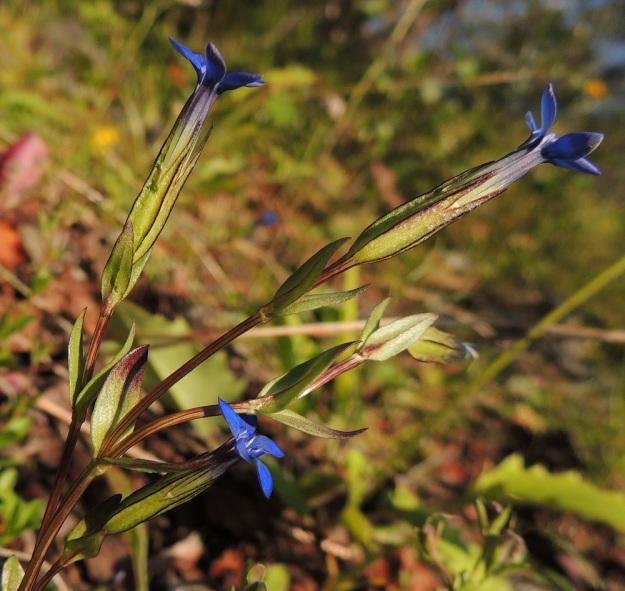 Gentiana nivalis - tunturikatkeron kukat ovat yksittäin varren tai haarojen kärjessä. Verhiö on torvimainen, pitkästi yhdislehtinen, kärjestään 5-liuskainen ja yleensä vihreä sekä tavallisesti noin 12-15 mm pitkä ja noin 3-4 mm leveä. EnL, Enontekiö, Kilpisjärvi, Saanan lounaisrinne, ensimmäinen, matala pahtaseinämä tunturikoivikkorinteessä, retkeilykeskuksen kohdalla, luonnonsuojelualue, 600 m mpy, 17.7.2013. Copyright Hannu Kämäräinen.