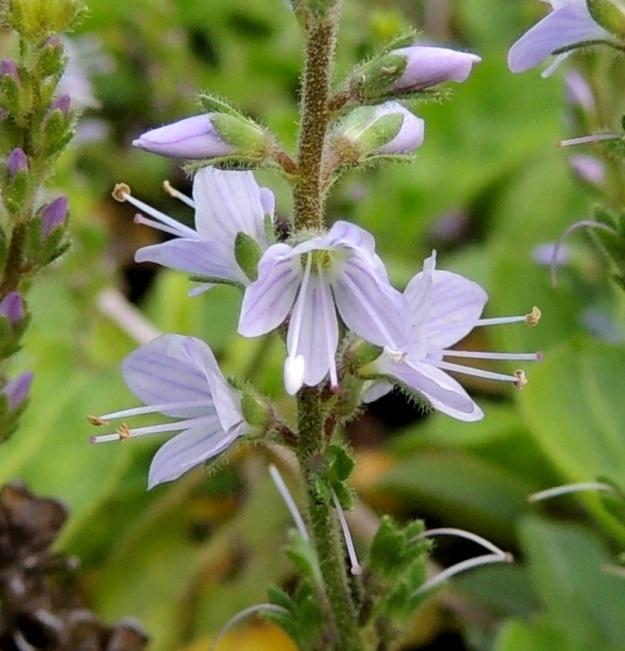 Veronica officinalis - rohtotädykkeen heteitä on kaksi ja ne ovat noin 3-3,5 mm pitkiä. Heteiden kanssa noin samanpituisen emin vartaloita ja luotteja on yksi. Kukat avautuvat täysin auki ja hyönteisten pölytettäviksi vain hyvällä ilmalla. Ne voivat olla kuvan tavoin osittain auki tai jäädä huonolla kelillä kokonaan avautumatta, jolloin kukassa tapahtuu itsepölytys. Pölytystapa ei juurikaan vaikuta siementuotantoon. EH, Hämeenlinna, Loimalahti, Hirsimäki, Metsäkukantien lounaispään laitaruohikko, 25.6.2014. Copyright Hannu Kämäräinen.