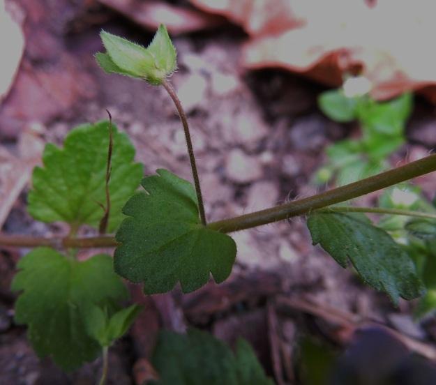 Veronica persica - persiantädykkeen lehdet ovat alempana varrella vastakkain ja ylempänä vuoroittain. Kukat ovat vuoroittaisten lehtien hangoissa. Kukkaperä on lyhytkarvainen ja kukintavaiheessa tavallisesti noin 5-15 mm pitkä sekä pitenee hedelmävaiheessa noin 20-30 mm pitkäksi. Verhiönliuskat ovat kuvan tavoin puikeat tai suikeat eivätkä ole tyveltään juurikaan limittäiset. Ne ovat noin 3-4 mm pitkät, reunoiltaan hapsikarvaiset ja muuten lähes tai aivan kaljut. EH, Tampere, Tammela, Sorsapuiston pohjoislaita, Lähteenkadun kerrostalon seinusta, 9.7.2014. Copyright Hannu Kämäräinen.
