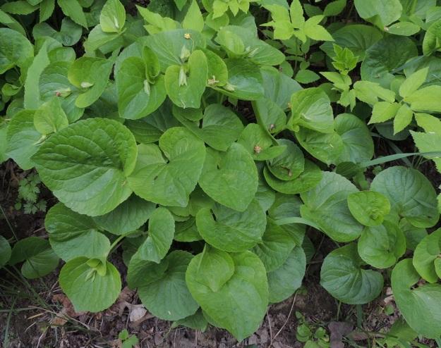 Viola mirabilis - lehto-orvokin varret lehtineen kasvavat yleensä noin 15-30 cm korkeiksi. Ruusuke- ja varsilehtien lapa on leveän munuaismainen tai herttamainen, ja matalasti nyhälaitainen. Se on tyveltään matala- tai syvälovinen ja toisinaan suorahko. Lehtilapa on tavallisesti noin 2-7 cm pitkä ja noin 2,5-7,5 cm leveä ja kasvaa kokoa kevään ja alkukesän edetessä. Tyvikukinnan loppuvaiheessa tai sen jälkeen varsien kärkeen kasvaa lyhytperäisiä, yleensä avautumattomiksi jääviä ja itsepölytteisiä kukkia, joissa päälle päin näkyy vain normaalisti kehittynyt verhiö. EH, Hämeenlinna, Keinusaari, Pinellan puisto, puistokäytävän laidassa oleva multava penger, 21.5.2016. Copyright Hannu Kämäräinen.