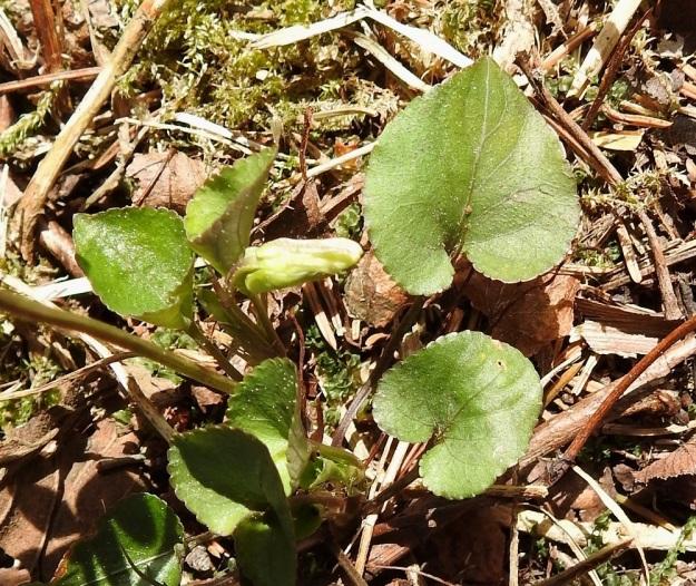 Viola rupestris subsp. rupestris - hietaorvokin subsp. harjuhietaorvokin kukintavaiheessa ruusukelehtien ruoti on noin 1,5-5 cm pitkä ja varsilehtien ruoti noin 0,5-1,5 cm. Lehtien lapa on munuaismainen, herttamainen tai pyöreähkönmuotoinen, paksuhko ja matalasti nyhälaitainen sekä tyveltään matala- tai syvälovinen ja toisinaan suorahko. Pituutta kukinta-aikaisilla lehdillä on tavallisesti noin 0,8-2 cm ja leveyttä noin 0,7-2 cm pituuden suhteen ollessa leveyteen noin 0,6-1,4-kertainen. St, Sastamala, Vammala, Sammaljoki, peltoalueen laiteessa olevan Käkikallion, alarinne, 16.5.2019. Copyright Hannu Kämäräinen.
