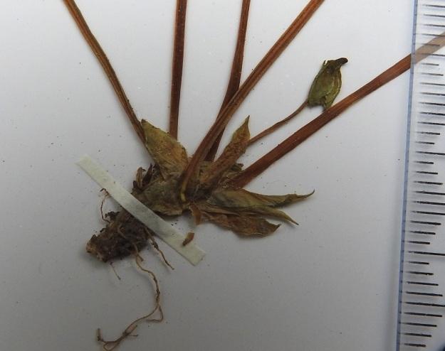 Viola xfennica (V. epipsila x palustris) - viitaorvokin lehtien korvakkeet ovat yleensä puikeat ja teräväksi kärjeksi suippenevat sekä vihreät, vaaleat tai ruskehtavat. Ne ovat ehytlaitaiset ja kaljut sekä tavallisesti noin 5-10 mm pitkät ja noin 2-3 mm leveät. Niissä ei ole juurikaan eroa kantalajiensa korvakkeisiin. Kuvassa on myös ilmeisesti umpipölytteiseksi jäävä, noin 5 mm pitkä kukka. Pääosa risteymän siementuotannosta tullee näistä umpipölytteisistä kukista. EH, Hämeenlinna, Vuorentaka, Tertti, vanhassa kuusikossa olevan puron laide, 29.5.1998. Kuva näytteestä, copyright Hannu Kämäräinen.