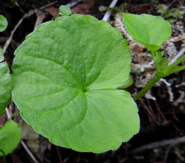 Viola biflora - lapinorvokin tyvilehtien lapa on pituuttaan leveämpi sekä tavallisesti noin 1,5-3,5 cm pitkä ja noin 2-5 cm leveä. Tyvilovi on syvä ja kapea. Varsilehdet pienenevät ylöspäin ja ne ovat lavaltaan tyvilehtien kaltaiset ja ylimpänä kuvan tavoin leveän herttamaiset. Kaikkien lehtien lapa on päältä harvaan lyhytkarvainen ja nyhälaitainen sekä reunoiltaan tiheästi lyhytripsinen. Varsilehtien korvakkeet, jotka näkyvät kuvan oikeassa laidassa, ovat soikeita, puikeita tai suikeita, ehytlaitaisia ja yleensä noin 4-5 mm pitkiä. EnL, Enontekiö, Kilpisjärvi, Saanan luoteisrinteen länsipuolinen tunturikoivikko retkeilykeskuksen kohdalla , 585 m mpy, 5.7.2018. Copyright Hannu Kämäräinen.