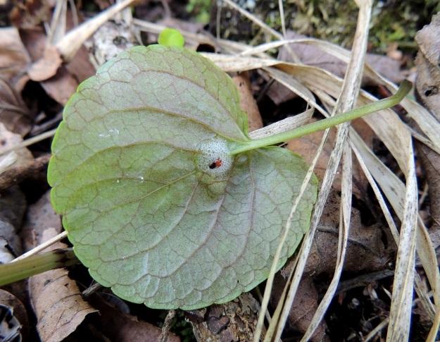 Viola palustris - suo-orvokin lehtilapa on nyhälaitainen ja kukintavaiheessa tavallisesti noin 2-5 cm pitkä ja suunnilleen saman levyinen. Hedelmävaiheessa lapa voi kasvaa jopa 8 cm pitkäksi ja leveäksi. Lapa on päältä hieman kiiltävä ja kalju sekä alta kuvan tavoin kalju tai toisinaan erityisesti avautuvien lehtien tyviosasta lyhytkarvainen (tällainen karvoitus nähtävissä kuusi kuvaa taaksepäin). U, Hanko, Santala, Luhtakorpi, tervaleppäluhta, luonnonsuojelualue, 30.5.2015. Copyright Hannu Kämäräinen.