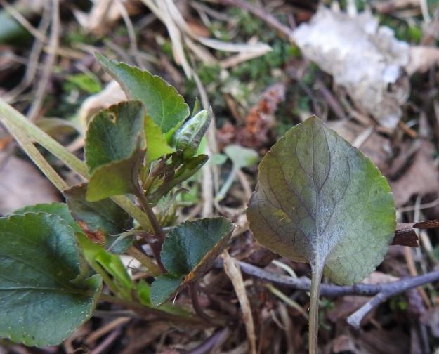 Viola rupestris subsp. rupestris - hietaorvokin subsp. harjuhietaorvokin lehdet ovat yleensä sini- tai tummanvihreitä. Lehtilavan alapinta voi myös olla enemmän tai vähemmän sinipunainen samoin kuin lehtiruoditkin. Kuvassa näkyvät myös varsilehtien hampaiset korvakkeet. St, Sastamala, Vammala, Sammaljoki, peltoalueen laiteessa olevan Käkikallion, alarinne, 16.5.2019. Copyright Hannu Kämäräinen.