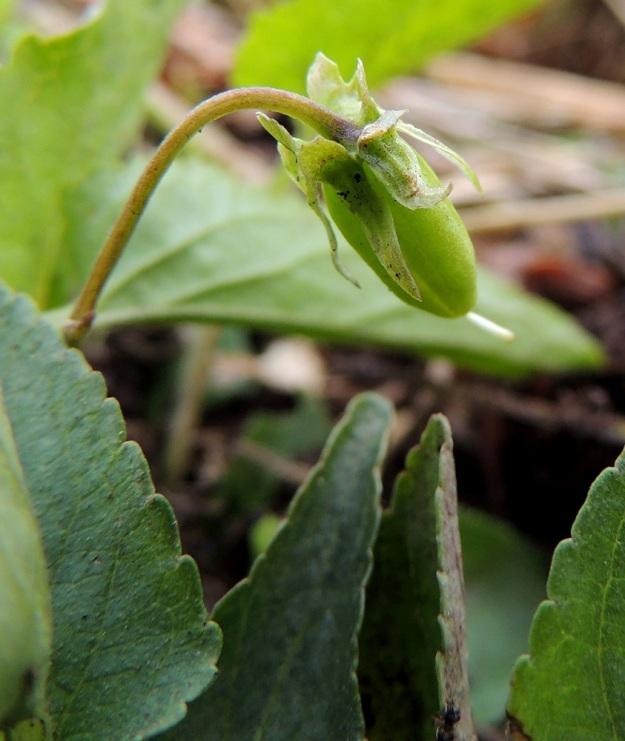 Viola stagnina (V. persicifolia) - rantaorvokin kota on pitkänpyöreä tai munanmuotoinen ja kalju. Se on tavallisesti noin 6-8 mm pitkä ja noin 3,5-4 mm paksu. EH, Vesilahti, Mantere, Mantereenjärven koillisranta, Peltosaarentien varren vanha, veden vaivaama pelto, 22.6.2014. Copyright Hannu Kämäräinen.