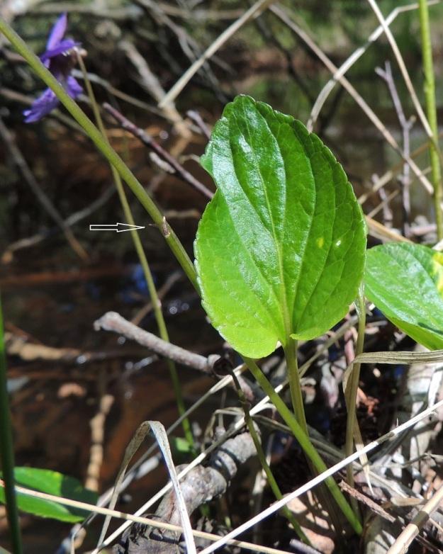 Viola uliginosa - luhtaorvokin lehtilapa on vaaleahkon vihreä ja sillä on tavallisesti pituutta noin 3-7 cm ja leveyttä leveimmältä kohtaa noin 2,5-5 cm. Lapa on useimmiten lähes puolitoista kertaa leveyttään pitempi. Kukkaperän puolivälistä ylöspäin on muutamia, äimämäisiä ja useimmiten noin 2-5 mm pitkiä esilehtiä (nuoli). U, Hanko, Santala, Luhtakorpi, tervaleppäluhta, luonnonsuojelualue, 30.5.2015. Copyright Hannu Kämäräinen.