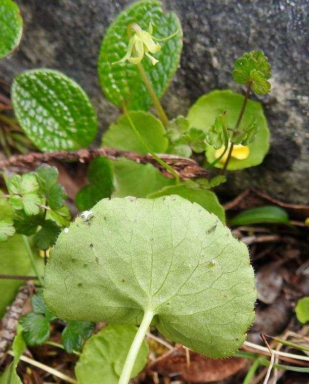 Viola biflora - lapinorvokin lehdet ovat alta kaljuhkot. Kuvassa taustalla näkyy kodaksi kehittyvä kukka verhiöineen. Kasvavan kodan päässä on vielä emin vartalo ja luotti paikallaan. Täysikasvuinen kota on pitkänpyöreä tai munanmuotoinen sekä yleensä noin 6 mm pitkä ja noin 4 mm paksu. EnL, Enontekiö, Kilpisjärvi, Saana, Saanan luoteisrinne lähellä pahtaseinämää, paljakkarinne, 720 m mpy, 5.7.2018. Copyright Hannu Kämäräinen.