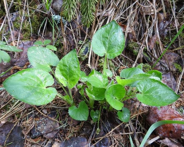 Viola collina - mäkiorvokin ruusukelehtien ruoti on yleensä noin 3-10 cm pitkä. Lehtilapa on tavallisesti leveän herttamainen ja leveimmillään vähän keskikohdan tyvipuolella. Se on nyhälaitainen ja molemmin puolin valkokarvainen. Tyvilovi on syvä ja kapea. Pituutta täysikasvuisella lehtilavalla on tavallisesti noin 4-7 cm ja leveyttä leveimmältä kohtaa noin 3,5-6 cm. St, Sastamala, Vammala, 22.5.2019. Copyright Hannu Kämäräinen.