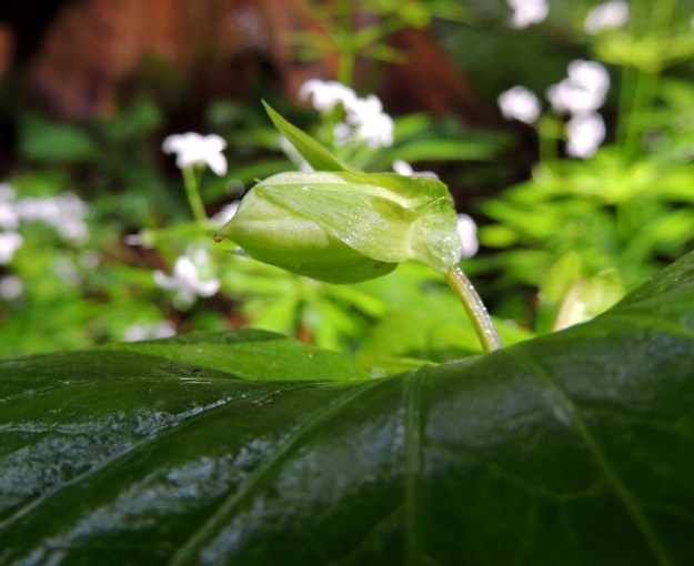 Viola mirabilis - lehto- orvokin avopölytteisistä ja tuoksullaan hyönteisiä houkuttelevista tyvikukista ei yleensä kehity siemenkotia. Sen sijaan varsien latvassa olevat, lehtihankaiset ja umpipölytteiset kukat tuottavat hyvän siemensadon. Kota on munanmuotoinen ja kalju sekä tavallisesti noin 8-14 mm pitkä ja noin 3-7 mm paksu. Umpipölytteisen kukan tyveen asti avautuvasta kodasta purkautuvat siemenet ovat vain emokasvinsa perimän sisältäviä klooneja. EH, Pälkäne, Kankahainen, Mallasveden Uutanankärki-tien varressa oleva Uutanan linnamäki, luonnonsuojelualue, kallionaluslehto, 24.6.2015. Copyright Hannu Kämäräinen.