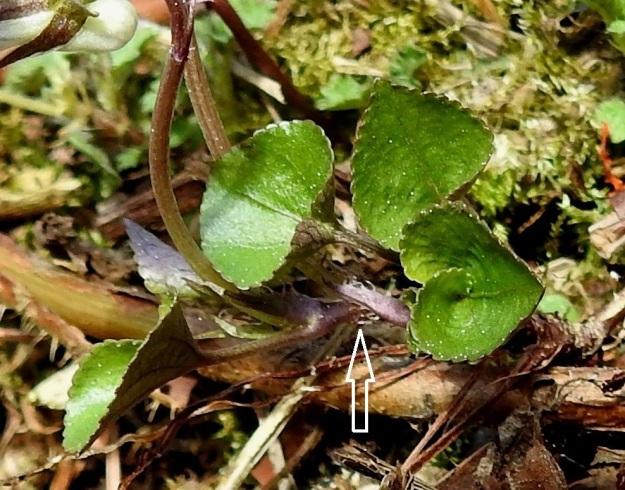 Viola rupestris subsp. rupestris - hietaorvokin subsp. harjuhietaorvokin lehtien korvakkeet ovat suikeita tai suikeanpuikeita, ja laidoiltaan kärkeä kohti suuntautuneesti hampaisia tai ripsihampaisia sekä tavallisesti noin 4-9 mm pitkiä (nuoli). St, Sastamala, Vammala, Sammaljoki, peltoalueen laiteessa olevan Käkikallion, alarinne, 16.5.2019. Copyright Hannu Kämäräinen.