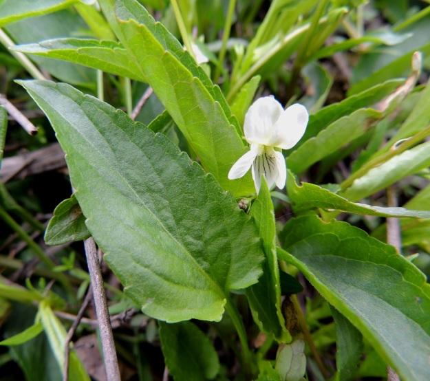 Viola stagnina (V. persicifolia) - rantaorvokin lehtilapa on tyveltään suorahko tai kuvan tavoin matalasti herttamainen sekä päästään tylppä tai terävähkö ja laidoiltaan ulkonevasti nyhähampainen. Se on päältä harvaan lyhytkarvainen. Pituutta lehtilavalla on tavallisesti noin 2-4 cm ja leveyttä leveimmältä kohtaa noin 0,7-1,5 cm. Lapa on useimmiten noin 2,5-3 kertaa leveyttään pitempi. Ruoti on ainakin yläosastaan kapeasti siipipalteinen. EH, Vesilahti, Mantere, Peltosaari, Hulausjärven rantaan vievän peltotien ison laitaojan rinne, 6.6.2015. Copyright Hannu Kämäräinen.
