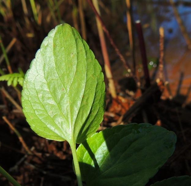 Viola uliginosa - luhtaorvokin lehtilapa on puikean herttamainen, nyhälaitainen ja alapinnaltaan kalju. Yläpintakin on usein kalju tai toisinaan vähäkarvainen. Tyvilovi on erityisesti kukintavaiheessa matala ja lehden kärki terävähkö, tylppä tai kuvan tavoin pyöreähkö. U, Hanko, Santala, Luhtakorpi, tervaleppäluhta, luonnonsuojelualue, 30.5.2015. Copyright Hannu Kämäräinen.