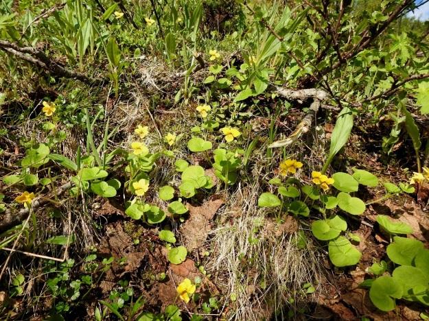 Viola biflora - lapinorvokki viihtyy tuntureilla mm. paljakan kosteilla niityillä ja varvikoissa sekä tunturikoivikoissa. EnL, Enontekiö, Kilpisjärvi, Saanan lounaisrinne, ensimmäisen, matalan pahtaseinämän yläpuolinen, valu- ja tihkuvesien kostuttama jyrkkä varvikkorinne retkeilykeskuksen kohdalla, luonnonsuojelualue, 620 m mpy, 5.7.2018. Copyright Hannu Kämäräinen.