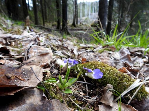 Viola collina - mäkiorvokki on erittäin uhanalainen ja rauhoitettu kasvi, jolla on vain muutama kasvupaikka Suomessa. Sen elinalueita ovat harvapuustoiset, riittävän valoisat moreenirinteet, kallion tyvet tai hyllyt ja lehtomaiset mäet. St, Sastamala, Vammala, 5.5.2020. Copyright Hannu Kämäräinen.