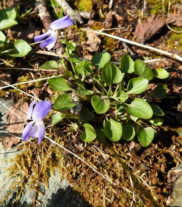 Viola rupestris subsp. relicta - hietaorvokki subsp. pahtahietaorvokki on Fennoskandiassa kotoperäinen ja on ilmeisesti selvinnyt täällä jääkauden yli joillakin Pohjois-Norjan jäättöminä pysyneillä rantatuntureilla. EnL, Enontekiö, Kilpisjärvi, Saanan lounaisrinne, ensimmäisen, matalan pahtaseinämän yläpuolinen, osin valuvetinen avokalliojuotti retkeilykeskuksen kohdalla, luonnonsuojelualue, 620 m mpy, 5.7.2018. Copyright Hannu Kämäräinen.