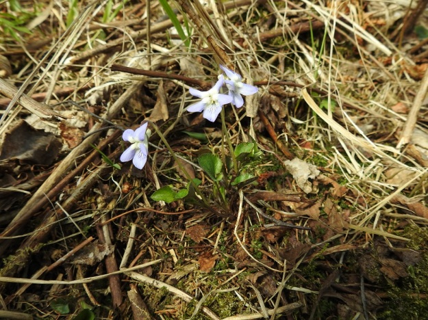 Viola rupestris subsp. rupestris - hietaorvokki subsp. harjuhietaorvokki kasvaa lähinnä kuivilla mäen- ja harjunrinteillä sekä kallioilla ja kedoilla. Pienenä kasvina se hyötyy aikaisesta kukinnastaan, kun muu kasvillisuus vasta tekee tuloaan. St, Sastamala, Vammala, Sammaljoki, peltoalueen laiteessa olevan Käkikallion, alarinne, 16.5.2019. Copyright Hannu Kämäräinen.