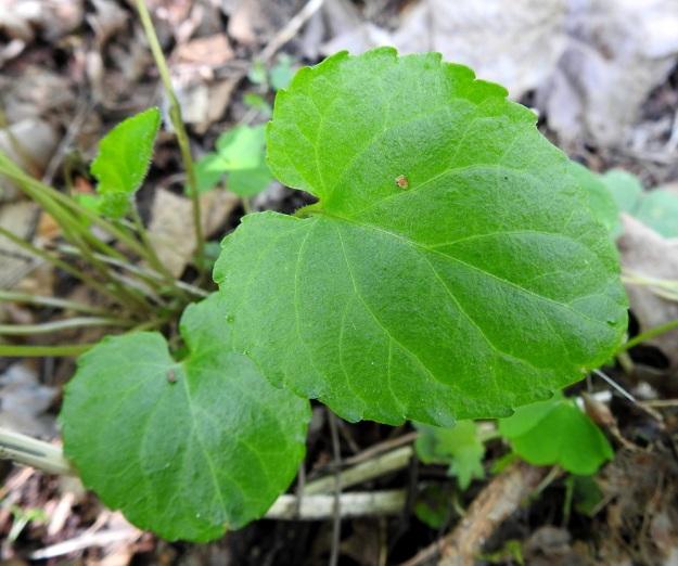 Viola selkirkii - kaiheorvokin lehtilapa on herttamainen, nyhälaitainen ja päältä hieman kiiltävä. Tyvilovi on syvä ja kapea sekä lehden kärki terävähkö, tylppä tai pyöreähkö. Pituutta lehtilavalla on tavallisesti noin 2,5-5 cm ja leveyttä leveimmältä kohtaa noin 2-4 cm. EH, Lempäälä, Perälä, Liponselän eteläpää, Mantere, Perälänraitin loppupäästä itään oleva nimetön niemi, 25.5.2020. Copyright Hannu Kämäräinen.