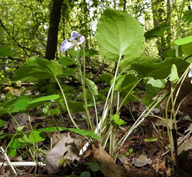 Viola selkirkii - kaiheorvokki on kokonaan varreton. Sen ruusukelehdet ja kukat nousevat suoraan juurakosta. Lehtiruodit ovat yleensä noin 3-8 cm ja kukkaperät noin 4-10 cm, joten kukat ovat samaa pituusluokkaa lehtien kanssa tai hieman niitä pitemmät. Kuvassa seuralaisina mm. metsäkäenkaali, Oxalis acetosella ja etelännokkonen, Urtica dioica subsp. dioica. EH, Lempäälä, Perälä, Liponselän eteläpää, Mantere, Perälänraitin loppupäästä itään oleva nimetön niemi, 25.5.2020. Copyright Hannu Kämäräinen.