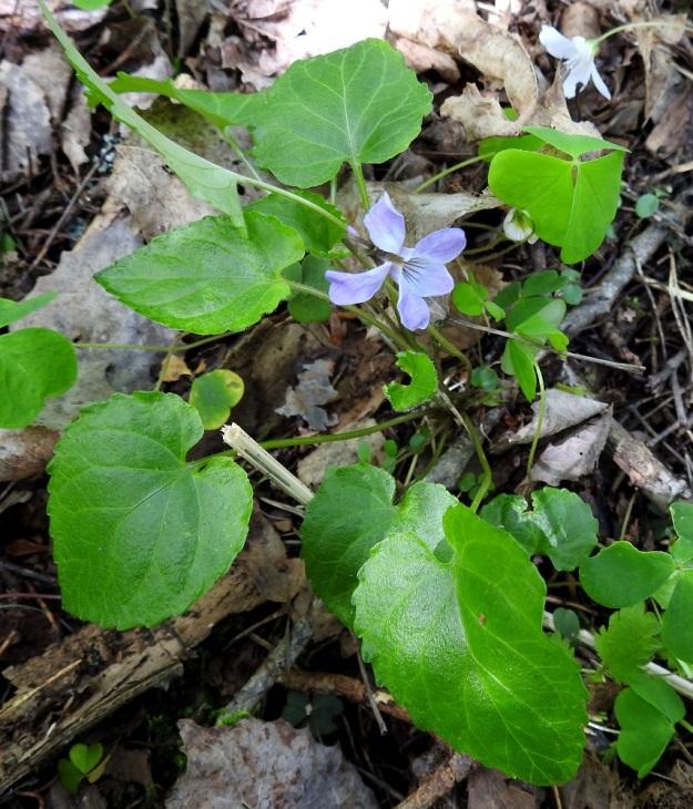Viola selkirkii - kaiheorvokki on rönsytön, joten sen lehtiruusukkeet ovat tarkkarajaisia ja useimmiten muista erillisiä. Ruusukkeisiin kehittyy yksi tai useampi kukka tai toisinaan avopölytteisiä kukkia ei kasva ollenkaan. EH, Lempäälä, Perälä, Liponselän eteläpää, Mantere, Perälänraitin loppupäästä itään oleva nimetön niemi, 25.5.2020. Copyright Hannu Kämäräinen.