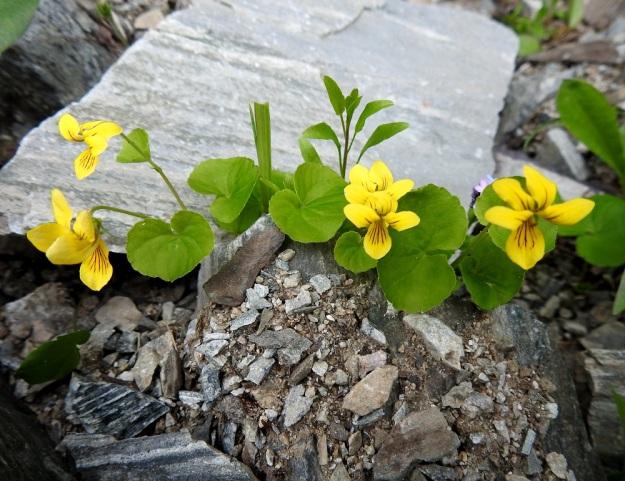 Viola biflora - lapinorvokki voi kasvaa myös karuissa kivikoissa ja soraikoissa, jos tarjolla vain on riittävästi vettä ja kalkkia. EnL, Enontekiö, Kilpisjärvi, Iso-Mallan etelärinne, Kitsijoen Kitsiputouksen tyvirotko, 650 m mpy, 9.7.2018. Copyright Hannu Kämäräinen.