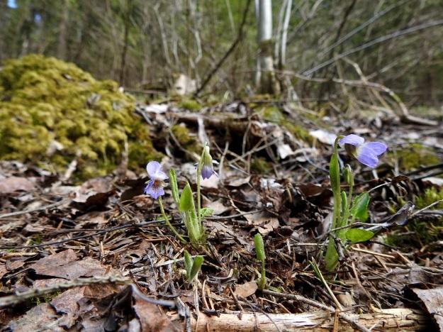 Viola collina - mäkiorvokin juuriston haarovat maavarret suikertavat pintamaassa ja karikkeessa muodostaen usein moniruusukkeisia yksilöitä. St, Sastamala, Vammala, 5.5.2020. Copyright Hannu Kämäräinen.