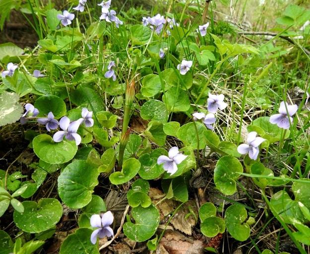 Viola palustris - suo-orvokin juuristo on suikertava ja rönsyjä muodostava. Niinpä kasvustot ovat usein tiheitä ja laajankin laikkumaisia. Lehdet ovat munuaismaisia tai pyöreähkömuotoisia ja pyöreäpäisiä. EH, Hämeenlinna, Hauho, Torvoila, Pasuntien laitaojan piennar Pasunmäen kohdalla, 21.5.2019. Copyright Hannu Kämäräinen.