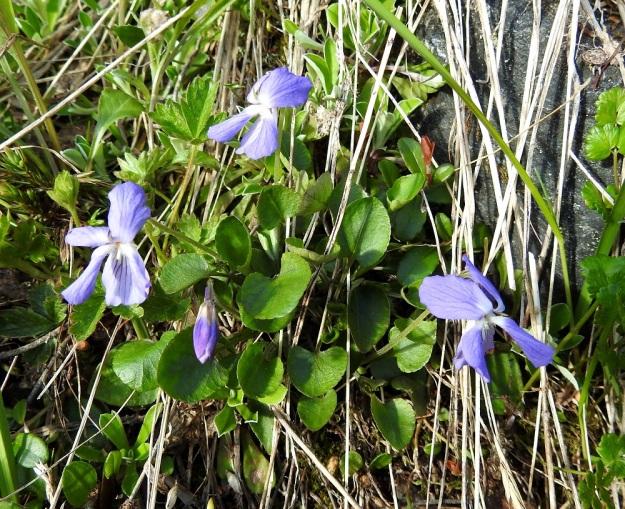 Viola rupestris subsp. relicta - hietaorvokki subsp. pahtahietaorvokki on kalkinsuosija ja kasvaa pahtarinteiden hyllyillä sekä jyrkillä, ainakin osin avokallioisilla rinteillä Tätä rauhoitettua alalajia on Suomessa löydetty vain Kilpisjärveltä, Saanan ja Pikku-Mallan tuntureilta. EnL, Enontekiö, Kilpisjärvi, Saanan lounaisrinne, ensimmäisen, matalan pahtaseinämän yläpuolinen, osin valuvetinen avokalliojuotti retkeilykeskuksen kohdalla, luonnonsuojelualue, 620 m mpy, 5.7.2018. Copyright Hannu Kämäräinen.