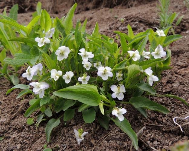 Viola stagnina (V. persicifolia) - rantaorvokin juurakko on haarova ja levittäytyvä. Niinpä juurisilmuista nousevat varret muodostavat usein tiheitä kasvustoja. Kaikki lehdet ovat varsilehtiä. Lehtilapa on malliltaan kapean kolmiomainen tai kapeanpuikea ja usein enemmän tai vähemmän kouruinen. Kukat ovat lehtihankaisia ja niiden perä on lehteään lyhyempi. Näin ollen kasvustoissa lehdet näkyvät ylimpänä. EH, Vesilahti, Mantere, Peltosaari, Hulausjärven rantaan vievän peltotien ison laitaojan rinne, 6.6.2015. Copyright Hannu Kämäräinen.