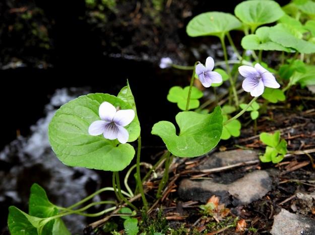Viola palustris - suo-orvokki on varreton laji. Sen lehdet ja kukkaperät eli vanat nousevat suoraan juurihaarojen kärjestä tai nivelistä. U, Hyvinkää, Mätälammin ja Vaskivuoren luonnonsuojelualue, Mätälammin länsipuolisen puron tai ojan laide, 21.5.2019. Copyright Hannu Kämäräinen.