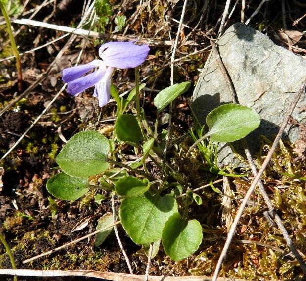 Viola rupestris subsp. relicta - hietaorvokki subsp. pahtahietaorvokki on pysty tai koheneva ja tavallisesti noin 3-7 cm korkea. Puhtaanvihreässä ruusukelehtituppaassa on yksi tai useampi, lyhyt kukkavarsi, jossa yleensä on vain yksi lehtihankainen kukka. Kukat nousevat lehtien yläpuolelle. EnL, Enontekiö, Kilpisjärvi, Saanan lounaisrinne, ensimmäisen, matalan pahtaseinämän yläpuolinen, osin valuvetinen avokalliojuotti retkeilykeskuksen kohdalla, luonnonsuojelualue, 620 m mpy, 5.7.2018. Copyright Hannu Kämäräinen.